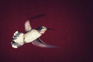 A Hummingbird flies off